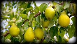 TetB-Vergers, vergers poires