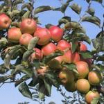 T&B Vergers, pommes Elstar vergers